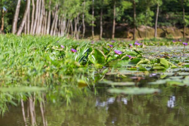 Lila Lotus Pflanzen auf Madhabpur See, ein beliebtes Ausflugsziel in der Nähe von Srimongal, Bangladesch – Foto