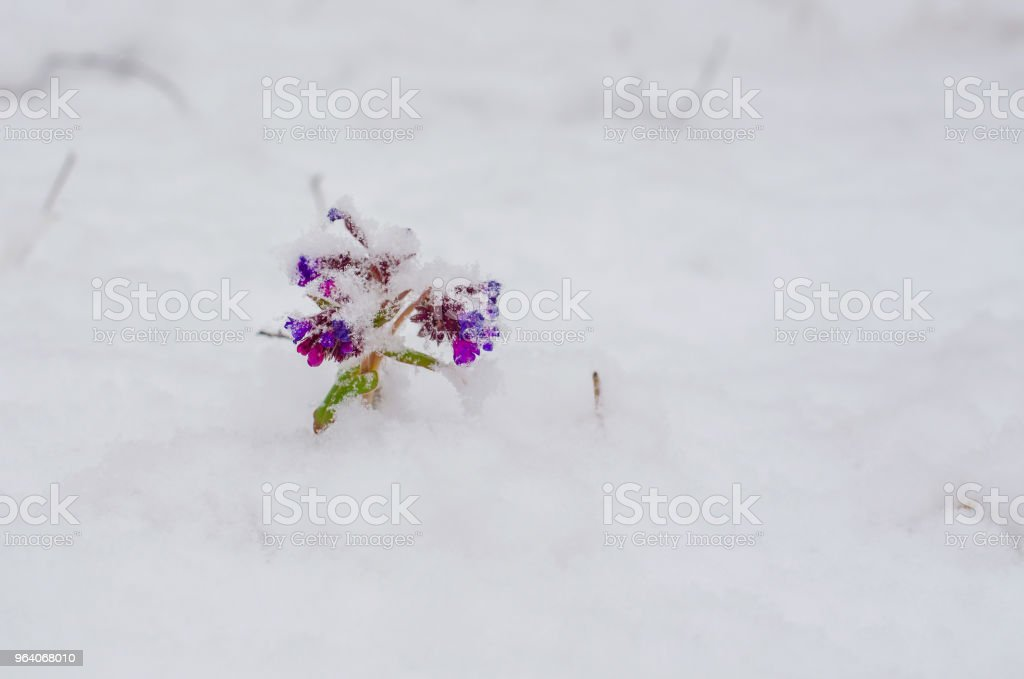 Purple Lungwort or Pulmonaria blooming under snow on spring meadow . The first spring flowers - Royalty-free Blossom Stock Photo