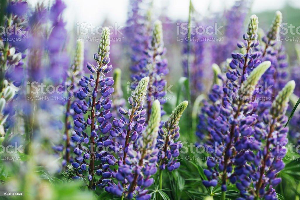 purple lupine flowers in green grass - foto de stock