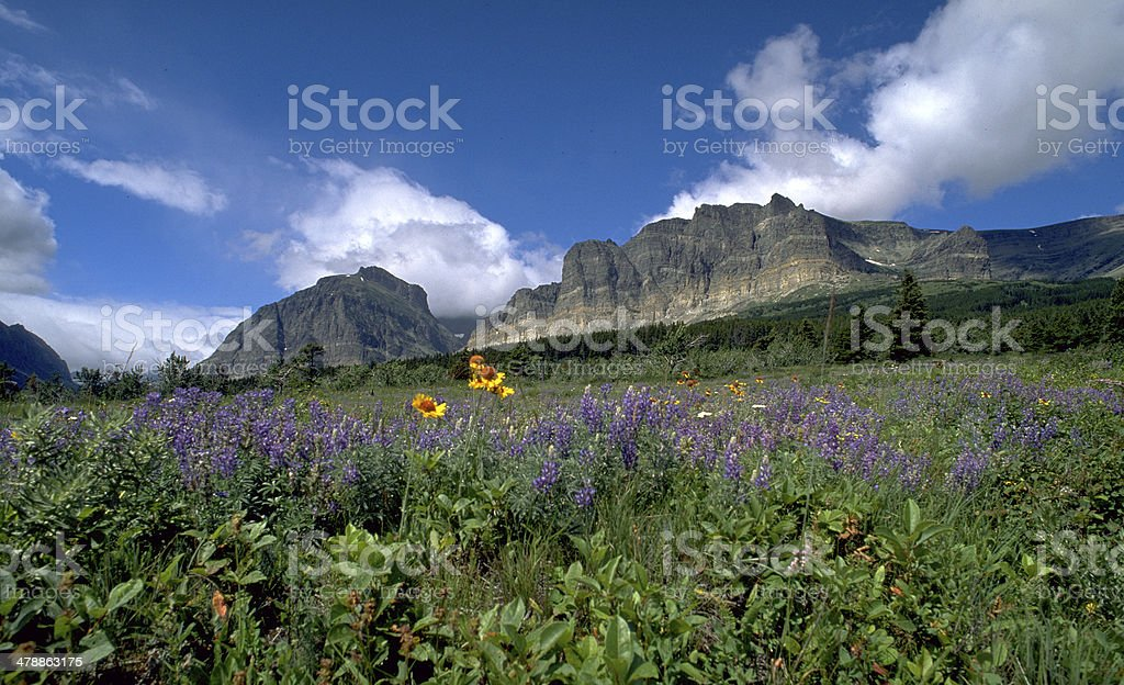 Purple lupine summer flowers Glacier National Park stock photo