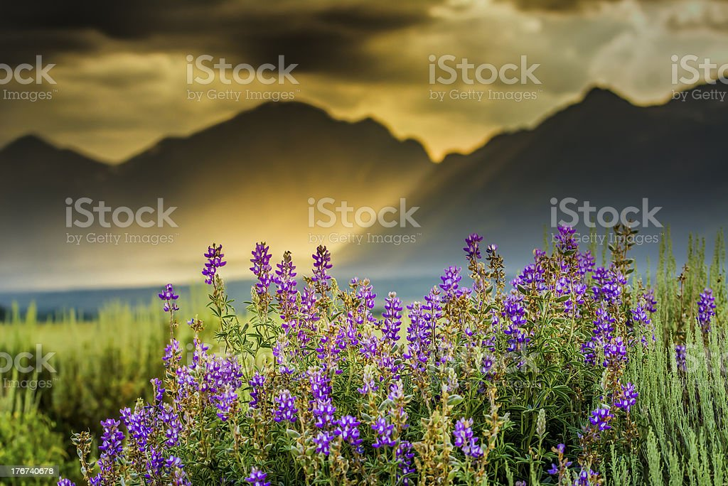 Purple Lupines in the Tetons stock photo