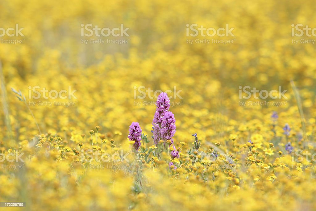 Purple lupines peek through a sea of yellow wildflowers royalty-free stock photo