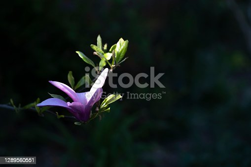 Purple magnolia flower picked out by a sunbeam against a black background.