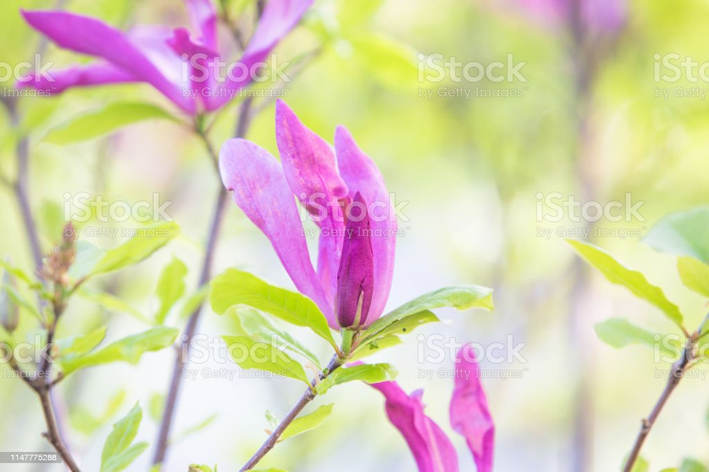 Purple magnolia flower spring wedding background
