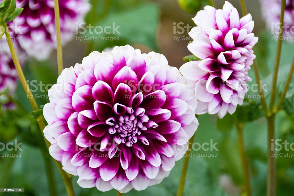 Purple Marigolds Stock Photo Download Image Now Istock