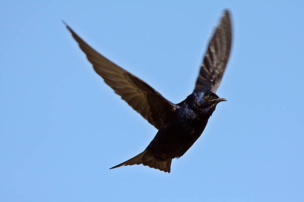 Purple Martin in flight stock photo
