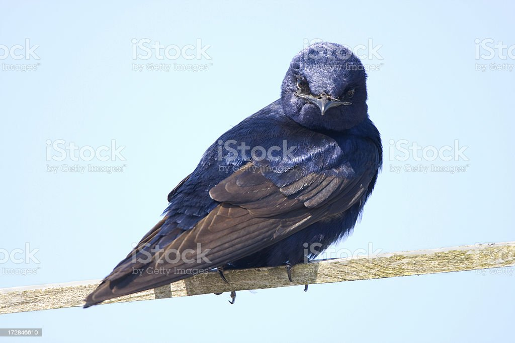 Purple Martin - Male stock photo