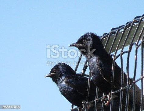 139975532 istock photo Purple Martin (Progne subis) 938817516
