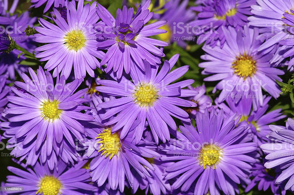 Purple Michaelmas daisies. stock photo