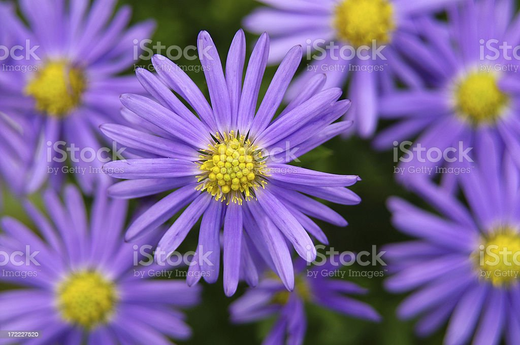Purple Michaelmas daisy 1 stock photo
