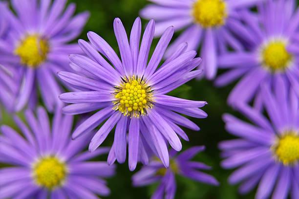 Purple Michaelmas Gänseblümchen 1 – Foto