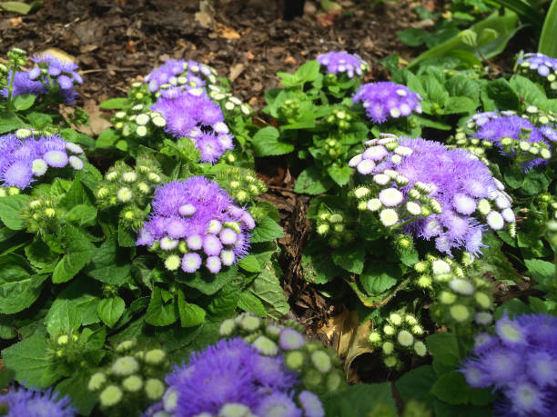 Purple Mist Flower stock photo