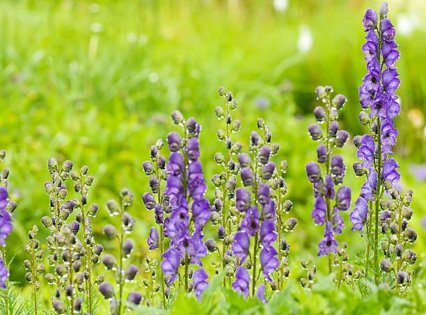 Violet Monkshood avec pluie - Photo