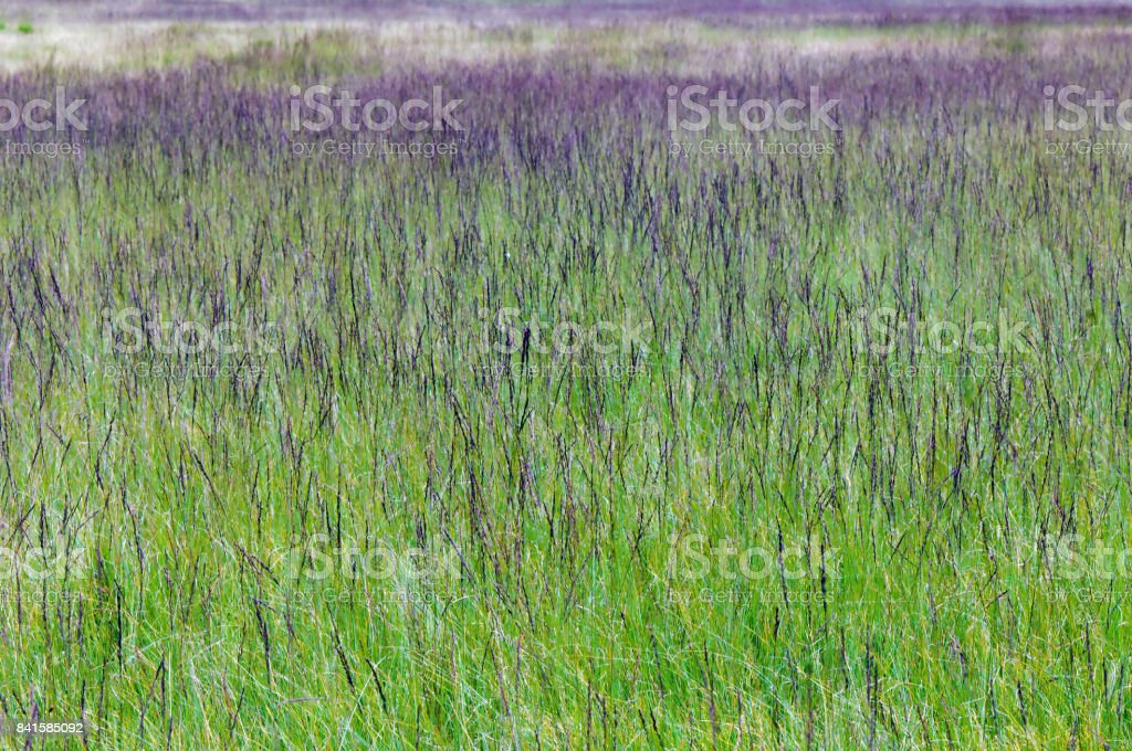 Purple moor Gras (Molinia caerulea) – Foto
