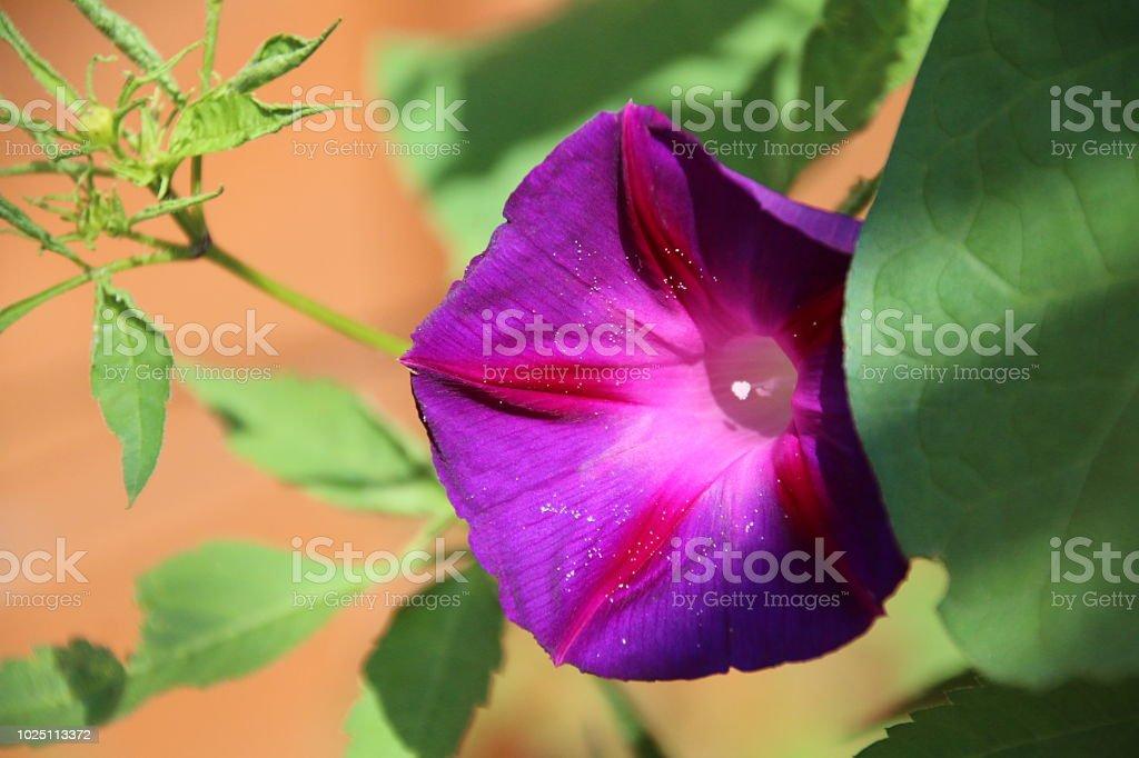 Morning Glory flor roxa - foto de acervo