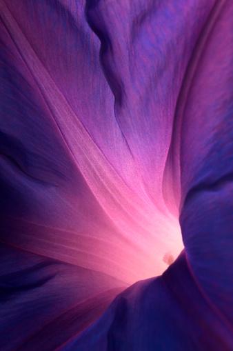 Purple morning glory flower..