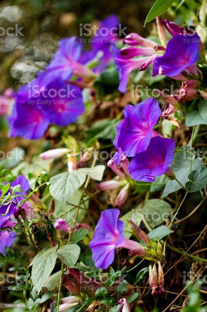 ipomeia púrpura flores - foto de acervo