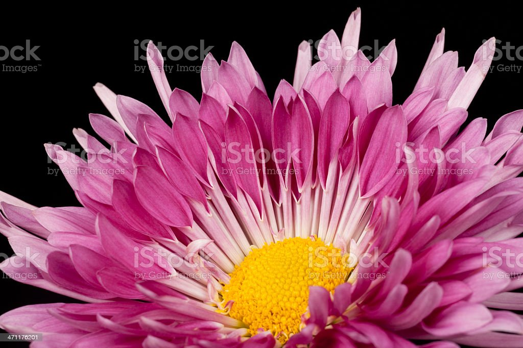 Purple Mum With Yellow Center, Isolated on Black, Close-up stock photo
