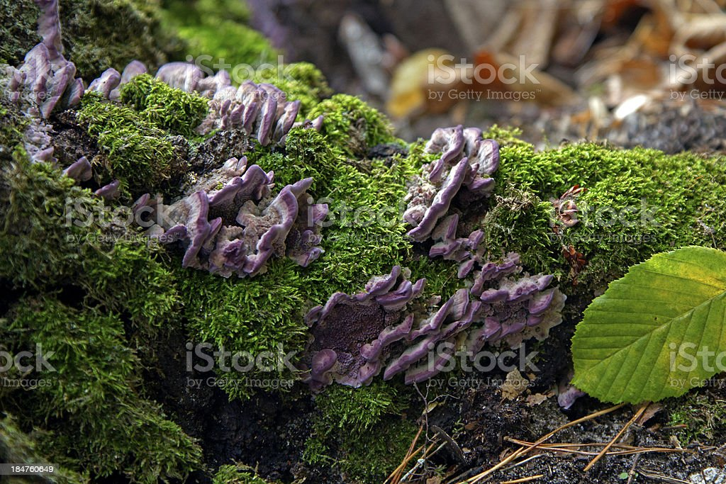 purple mushrooms stock photo