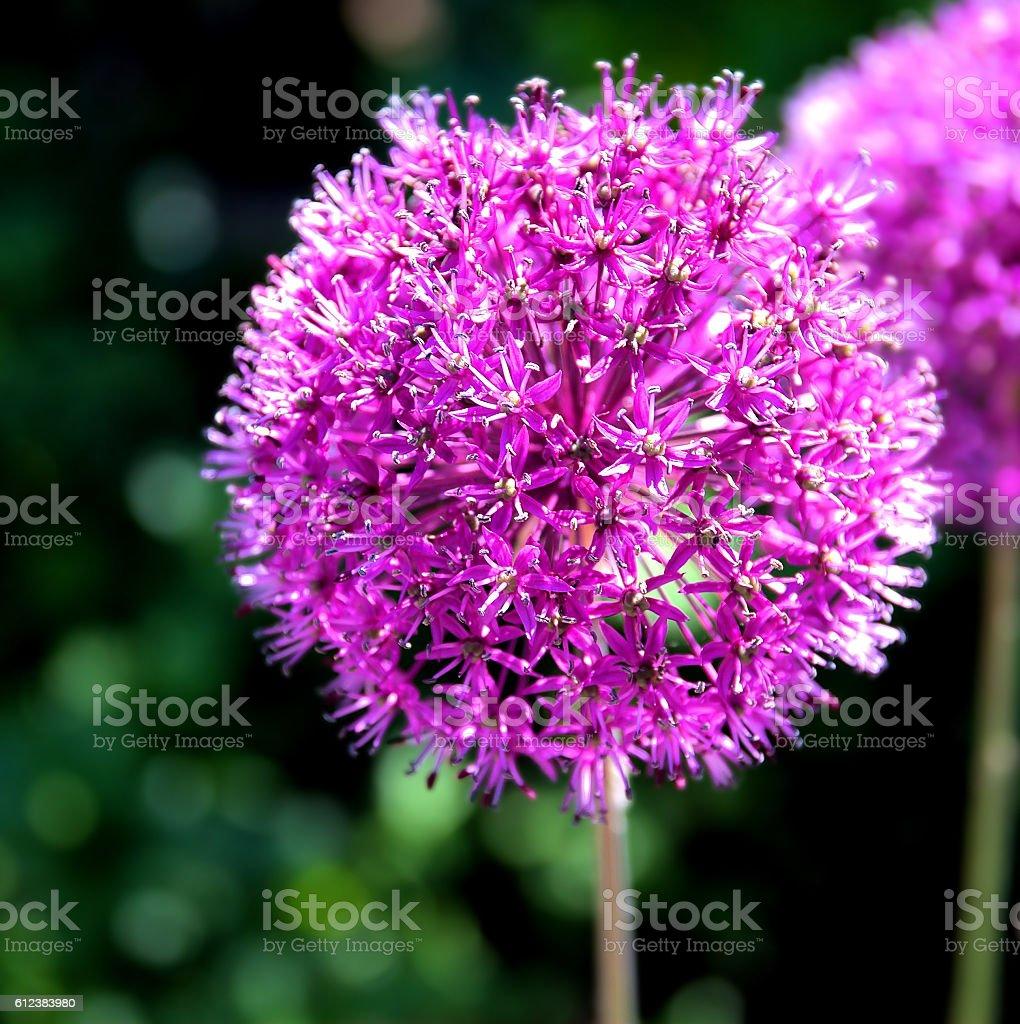 Purple onion flower (allium giganteum) stock photo