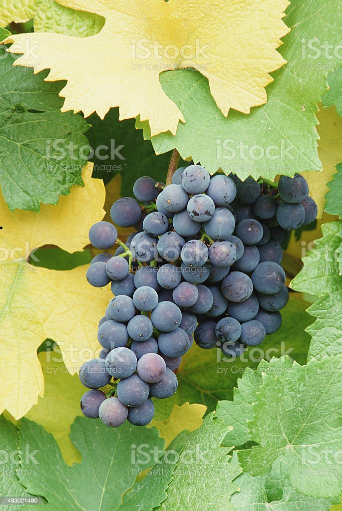 Purple or red wine grapes stock photo