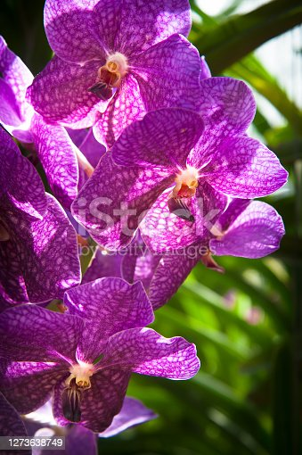 Beautiful Purple Orchid flowers against blurry green bokeh background