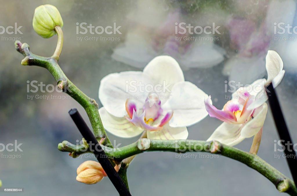 Purple orchid at window, Orchidaceae, Phalaenopsis stock photo