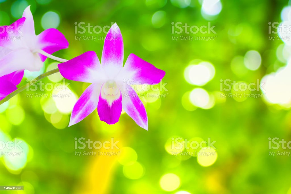 Purple orchid beautiful and surface blurry green nature in background  with copy space add text stock photo