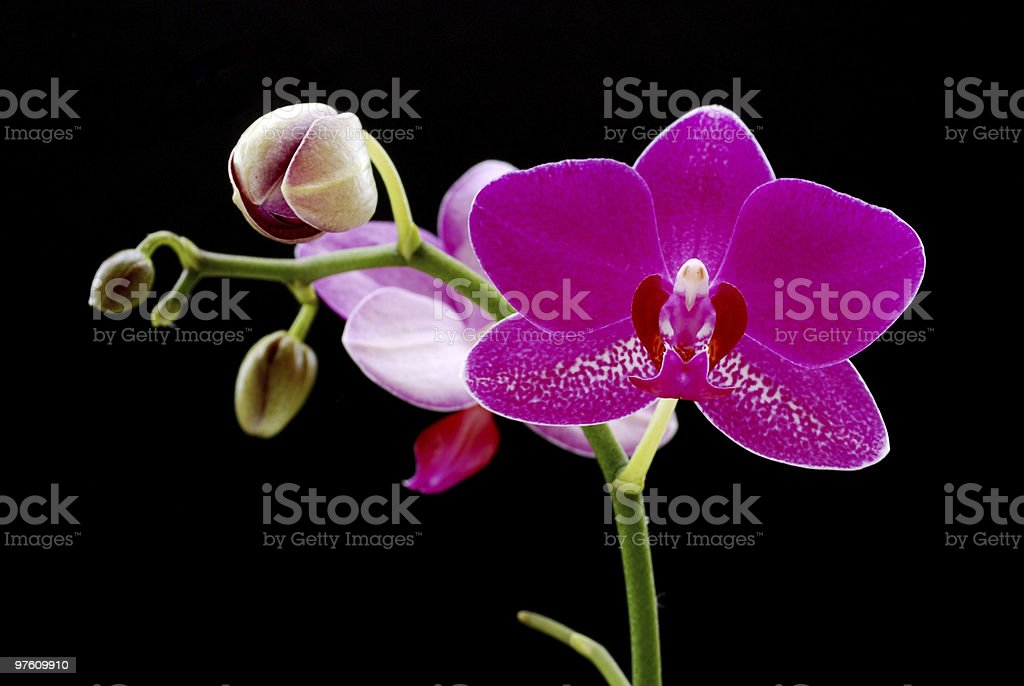 Purple Orchid. Black Background. royalty-free stock photo