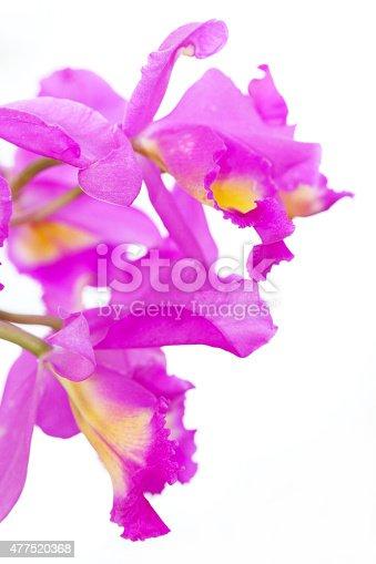 Purple orchid ,cattleya hybrid