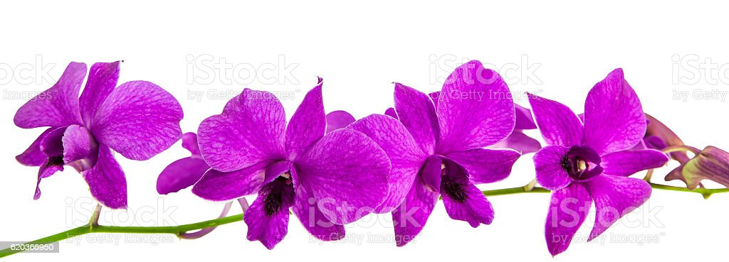 Purple orchid, Dendrobium isolated on white foto de stock royalty-free