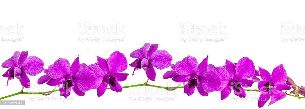 Purple orchid, Dendrobium isolated on white zbiór zdjęć royalty-free