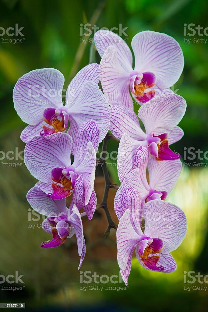 Purple Orchid flower beautiful royalty-free stock photo