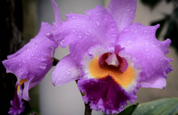 A Purple Orchid Flower Blooming stock photo