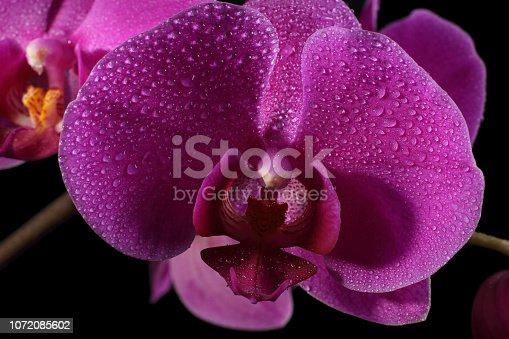 Purple orchid flower close up, isolated on black background, drops of water on the petals.