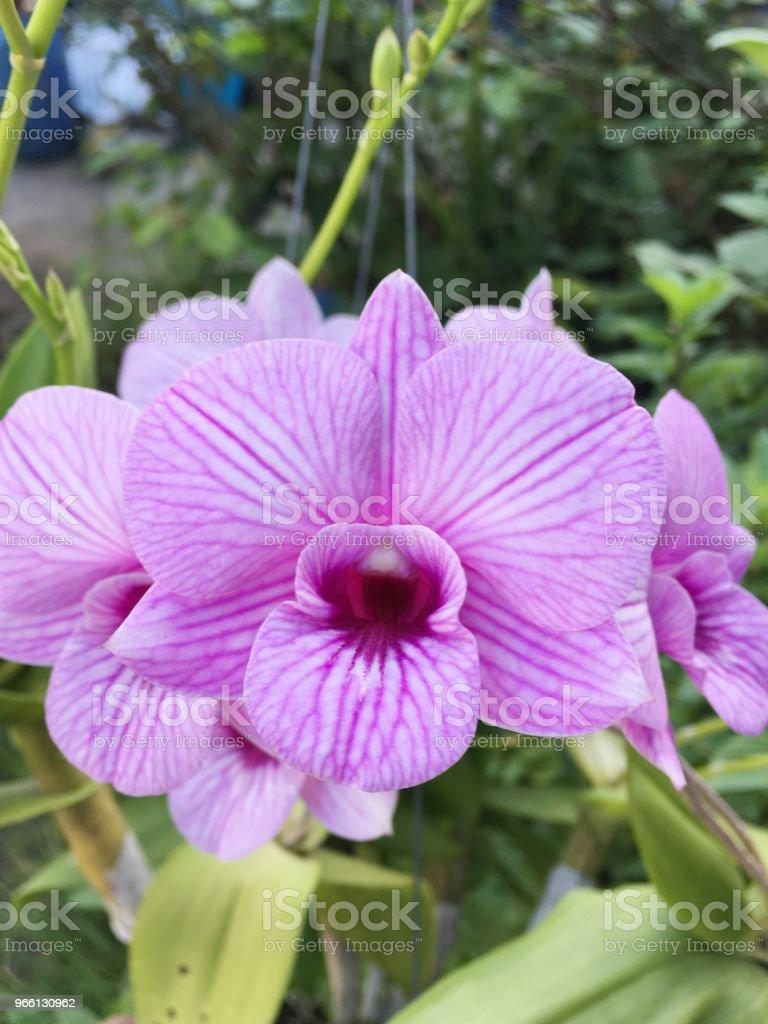 purple orchid flower in nature garden - Foto stock royalty-free di Bellezza