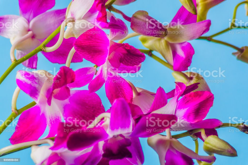 Purple Orchid Flower On Colorful Blue Background Studio Shot Stock