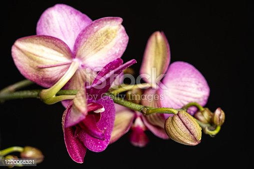 Purple orchid flower phalaenopsis, phalaenopsis or falah on a black background. Purple phalaenopsis flowers in the centre. Known as butterfly orchids.