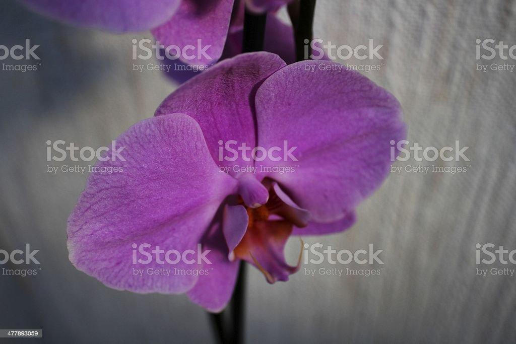 Purple orchid flower (Phalaenopsis) royalty-free stock photo