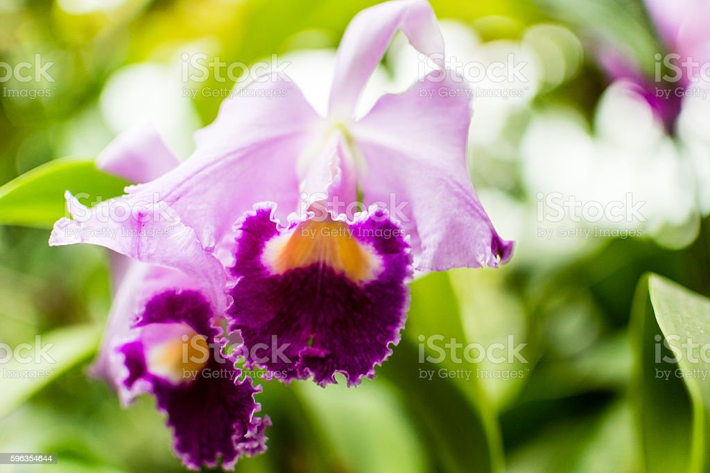 Purple Orchid Flowers A royalty-free stock photo