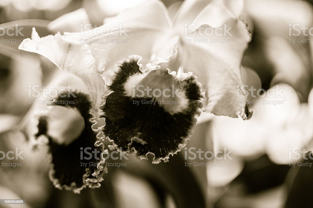 Purple Orchid Flowers B royalty-free stock photo