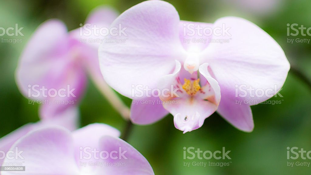 Purple Orchid Flowers E royalty-free stock photo