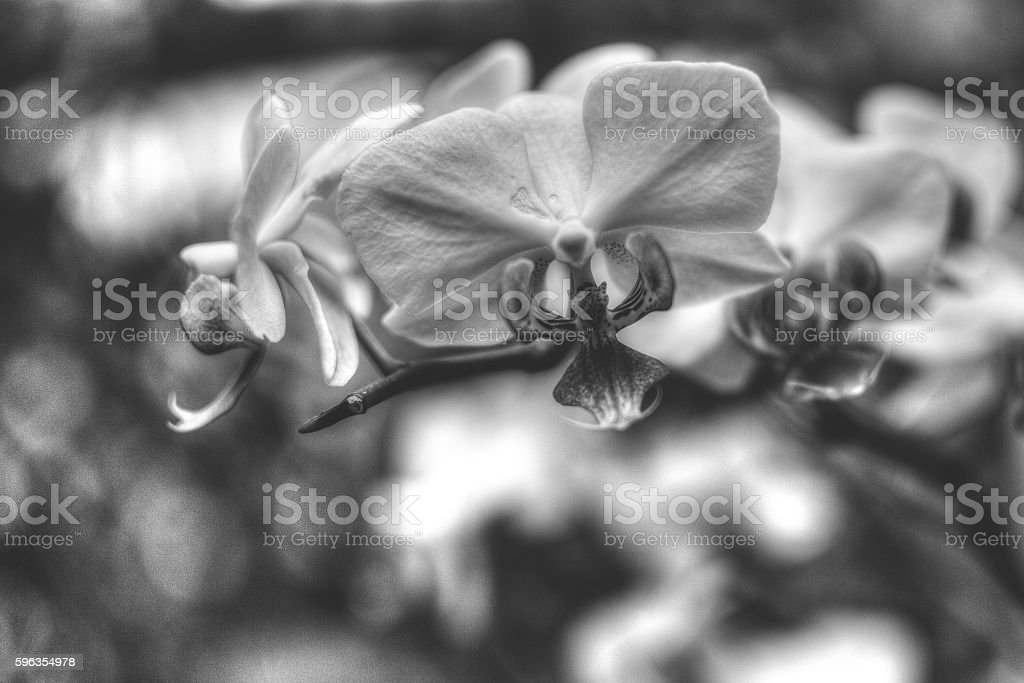 Purple Orchid Flowers HDR B royalty-free stock photo