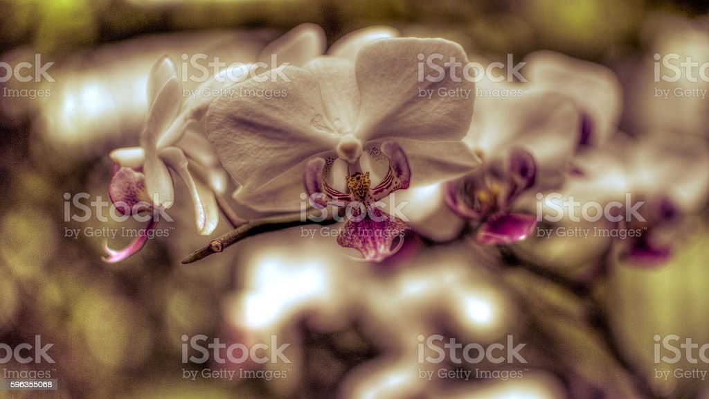 Purple Orchid Flowers HDR C royalty-free stock photo