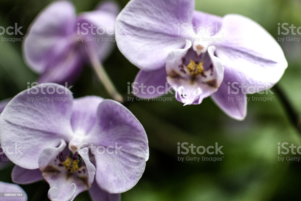 Purple Orchid Flowers HDR D royalty-free stock photo