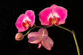 Beautiful purple orchid flowers (Phalaenopsis) on black background on a sunny day