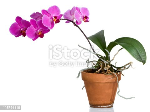 Phalaenopsis on a white reflective surface. In aRGB color for beautiful prints.