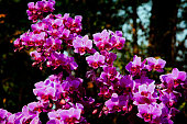 Fresh luxury bunch of purple orchid flowers in bright sunlight against dark backgrounds