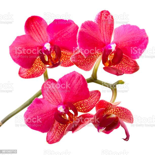Purple orchid isolated on white background picture id881063710?b=1&k=6&m=881063710&s=612x612&h=ufkhn6xadowaje0doytxsaca8u 4ocftqlvjtv swte=