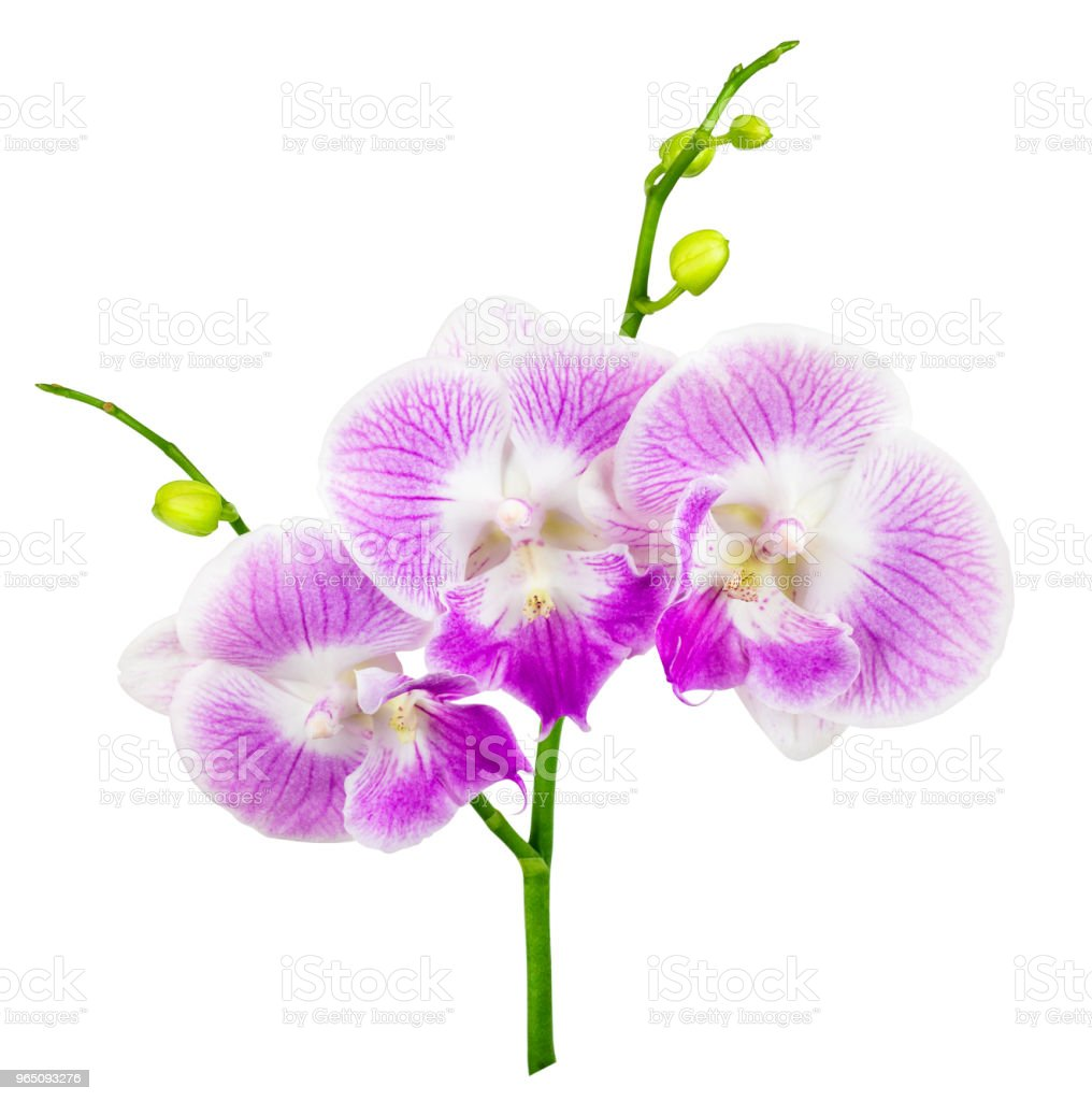 purple orchid isolated on white royalty-free stock photo